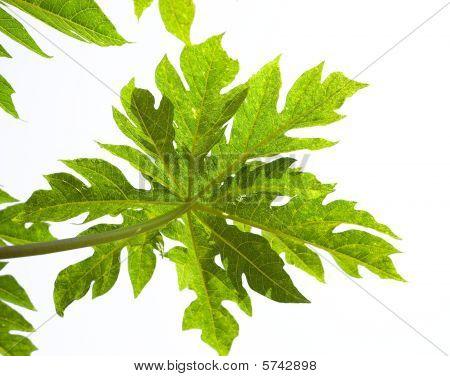 Leaves Of Papaya Tree