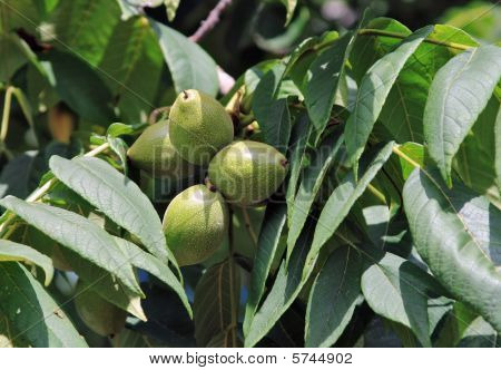 Manchurian Walnut
