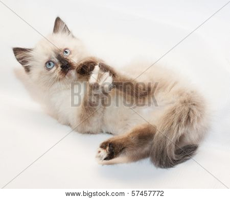 Seal Point Kitten With Blue Eyes , Licking Hind Paw