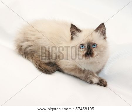 Seal Point Kitten With Blue Eyes Looking Up