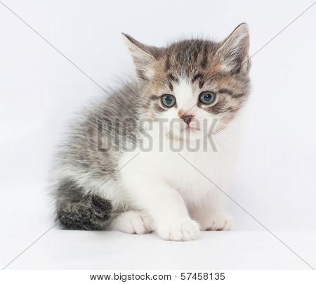 White Spotted Fluffy Kitten Sitting Warily Looking