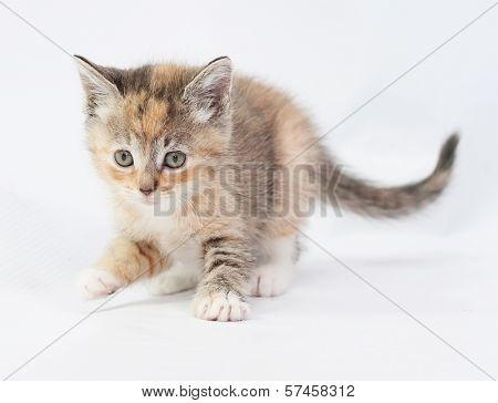 Tricolor Kitten Carefully Sneaks Lifted Front Paw