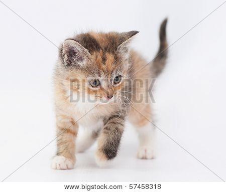 Tricolor Kitten Carefully Sneaks Looking Away