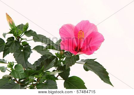 Rose Mallow Closeup