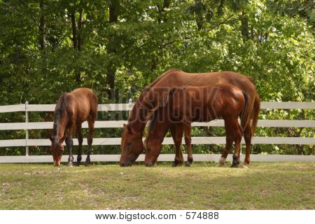 Three Hosrses Grazing