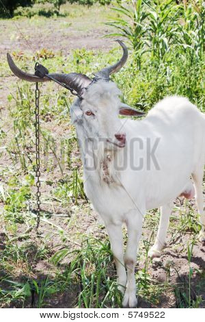 Young Goat With Corns On Chain Posing