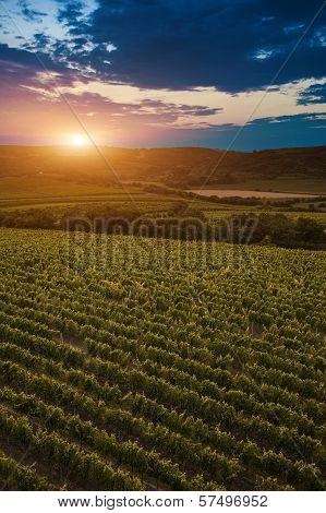 Vineyard At Dusk