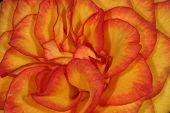 Orange Yellow Rose Petals... poster