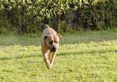 picture of bull-mastiff  - A young beautiful gray medium sized Cane Corso dog with uncropped ears walking on the grass - JPG