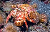 stock photo of hermit  - Thsi hermit crab was shot during a night dive off of Big Island Hawaii - JPG