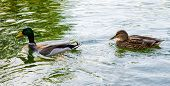 stock photo of canard  - A wild duck following a domestic one on a green lake with reflections - JPG