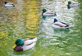 pic of canard  - Ducks with green heads and white bodies floating on a lake with clean watewr on a summer day - JPG