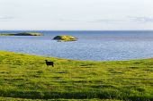 pic of iceland farm  - Iceland summer landscape. Goat on sea coast in the meadows