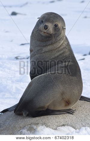 Fur Seal Sitting On A Rock On The Beach Antarctic Islands