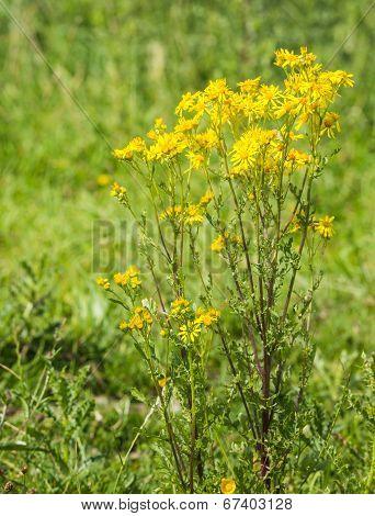 Yellow Flowering Ragwort Plant