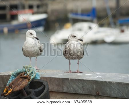 Juvenile Herring Gulls Seabird On Harbour Wall