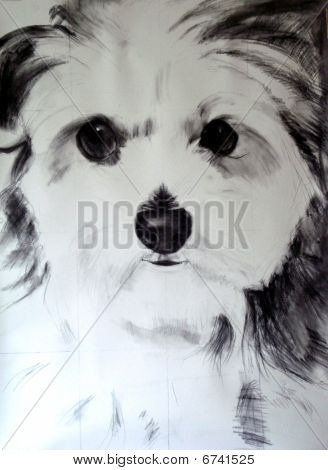 Maltese-Poodle Charcoal Drawing