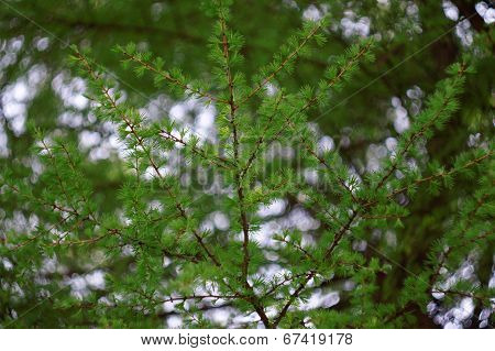 Larch Branch With Fresh Leaves As A Background