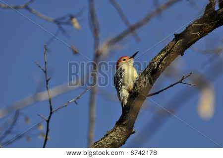 Red-bellied Woodpecker: Melanerpes carolinus