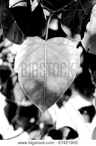 Pipal Or Peepul Or Bohhi Leaf Tree