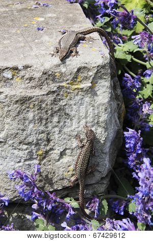 a couple of lizards