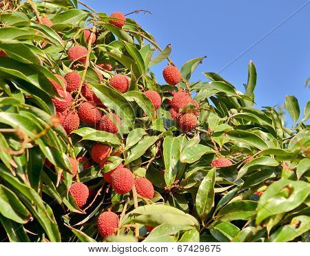 Red Lychee