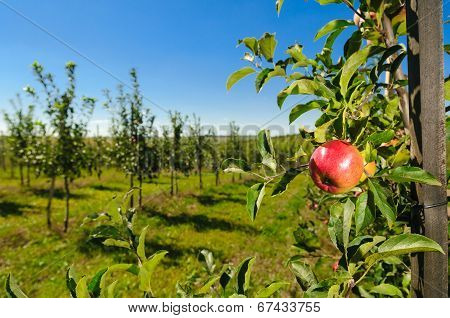 Apple Young Tree