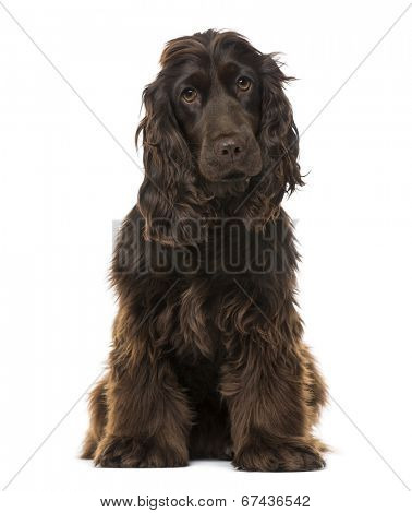 English Cocker Spaniel (8 months old)