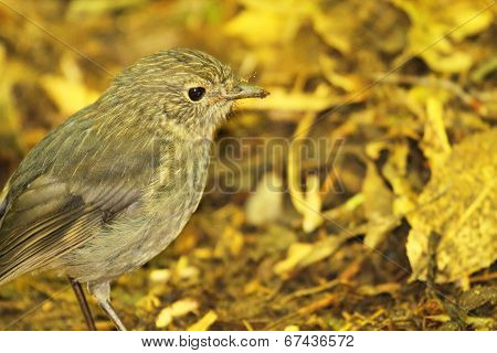 New Zealand Robin In Yellow Forest