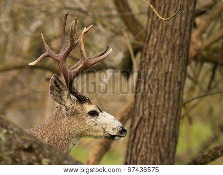 Trophy Buck Peeking Out