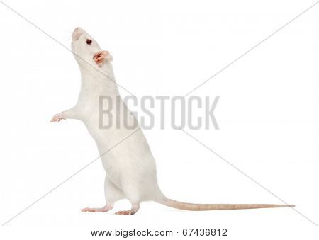 white Rat on hind legs (8 months old), isolated on white