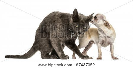 Crossbreed cat and chihuahua playing together