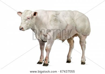 Belgian blue bull (8 months old) isolated on white