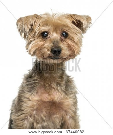 Close-up of an old Yorkshire Terrier with cataract (16 years old)