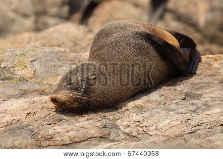 Southern Fur Seal Asleep On Warm Rock