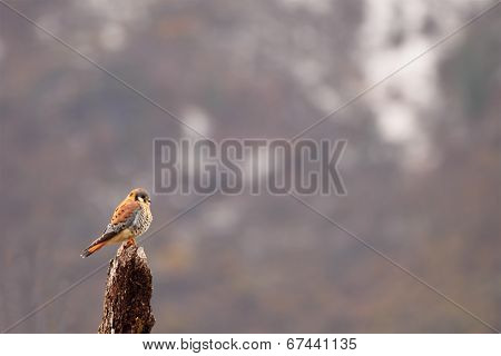 American Kestrel Perched With Big View