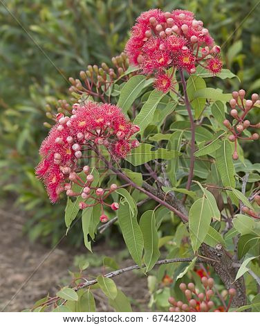 Flowers Of Australian Red Bloodwood Eucalypt Summer Red