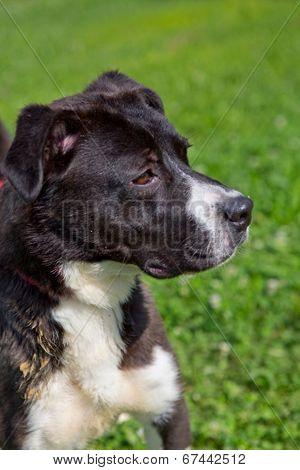 black/white pitbull mix