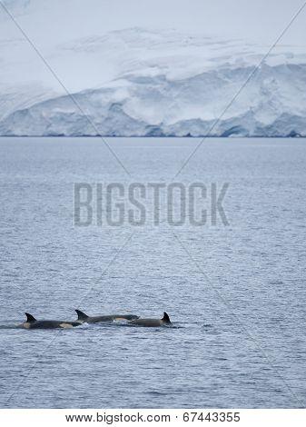 Killer Whales swimming in Antarctic waters