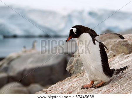 Gentoo Penguin standing on rock formation in Antarctica