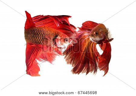 Siamese Fighting Fish isolated on white