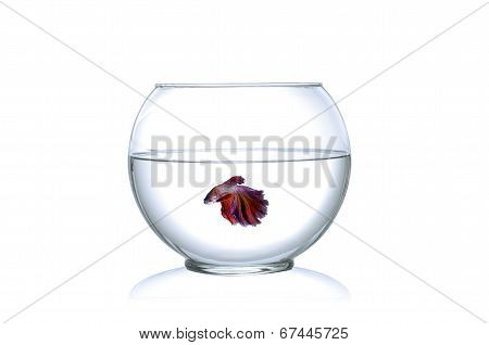 Siamese fighting fish in a fishbowl isolated on white background.