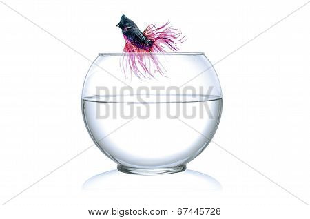 Runaway a Fighting Fish jumping out of fishbowl isolated on white background.