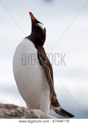 Gentoo Penguin looking skyward
