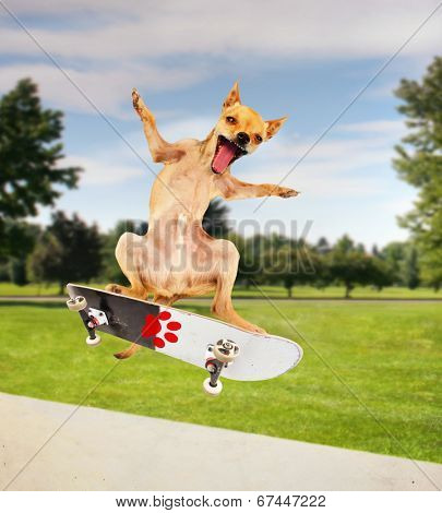 a chihuahua riding a skateboard