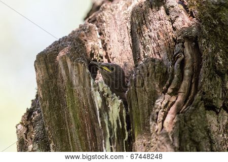 Starling In A Hollow Tree