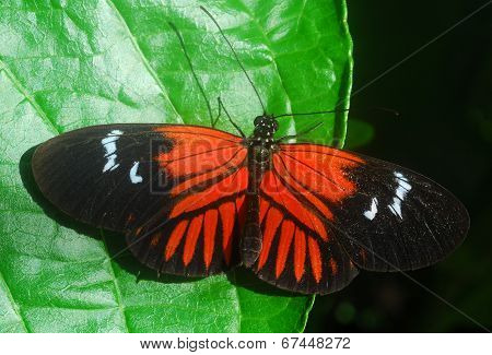 Black Orange Butterfly Insect