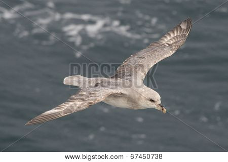 Close-up of fulmar gliding over Arctic sea