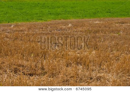 Golden straw and green grass