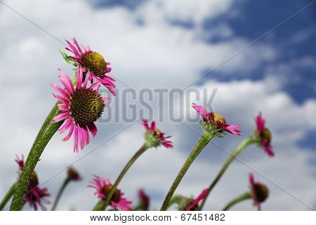 Echinacea Flowers From The Side.